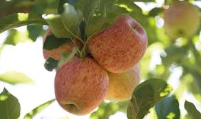 14-Apple Tree Garden Pruning Tips